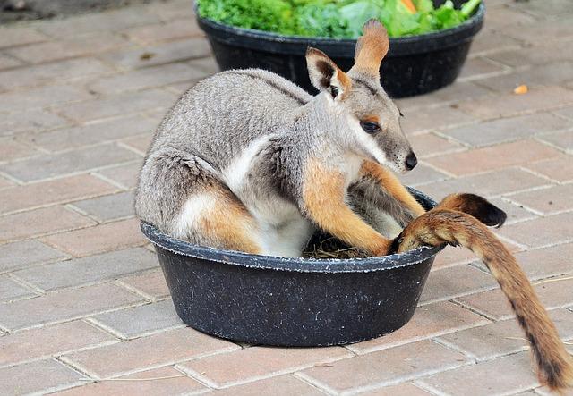 klokan ve škopku