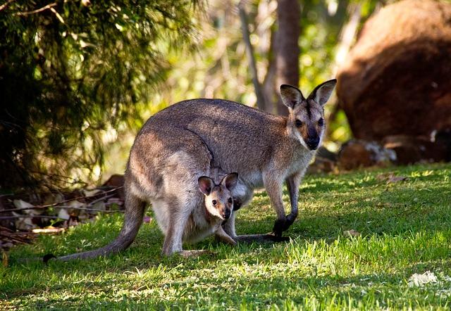 klokan s mládětem
